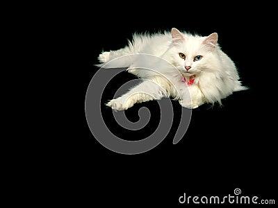 Gato do angora que relaxa