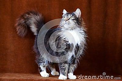 Gato gris con los ojos grandes