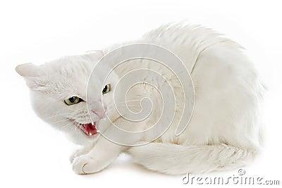Gato irritado