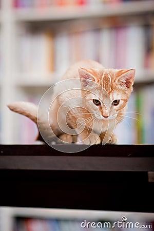 Gato lindo del jengibre