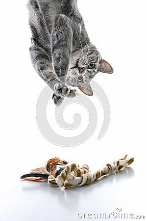 Gato listrado cinzento que joga upside-down.