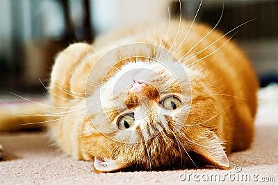 Gato Manx - Quivi