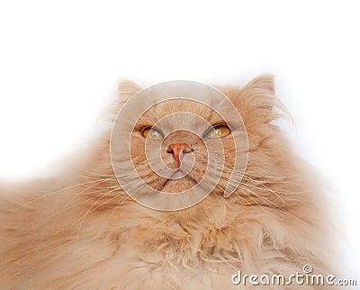Gato mullido, rojo