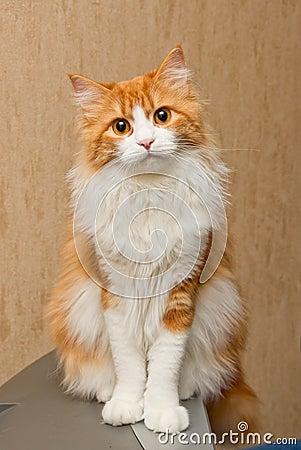 Gato peludo rojo