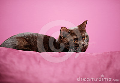 Gato que pone en la almohada
