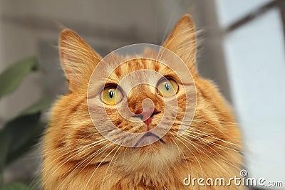 Gato rojo Bobtail que mira para arriba
