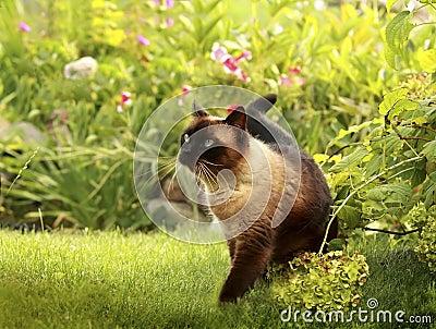 Gato siamés en una hierba verde