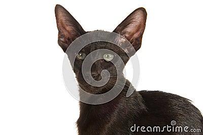 Gato siamés negro