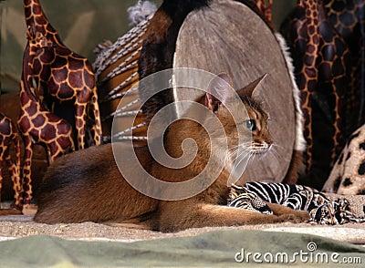 Gato somaliano