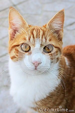 Gato vermelho
