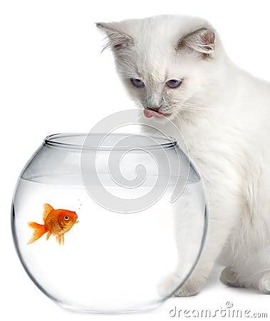 Gato y un pescado del oro