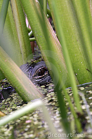 Gator in the marshes