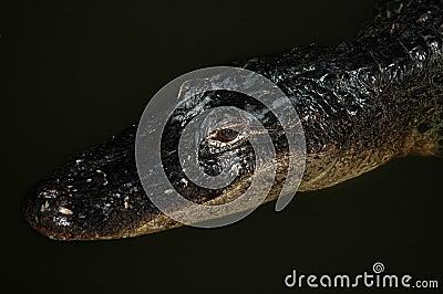 Gator At Night