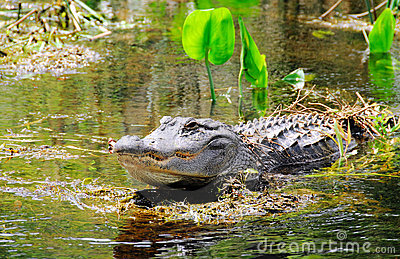 Gator in swamp