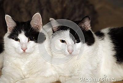 Gatos gêmeos.