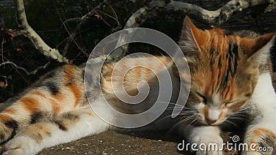 Gatos lamber suas penas Gato limpa suas penas gato deita-se ao sol Gato de cozinha na rua Fechar video estoque