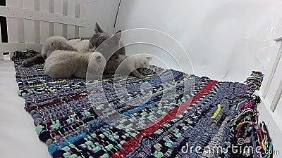 Gattini che giocano con la mamma in una piccola iarda, tappeto spogliato colorato stock footage