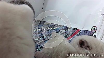 Gattini che giocano con la mamma in una piccola iarda, tappeto spogliato colorato video d archivio