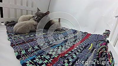 Gattini che giocano con la mamma in una piccola iarda, tappeto spogliato colorato archivi video