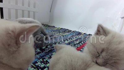 Gattini che giocano in una piccola iarda, tappeto spogliato colorato stock footage