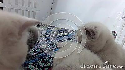 Gattini che giocano in una piccola iarda, tappeto spogliato colorato archivi video