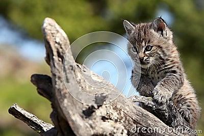 Gattino del gatto selvatico