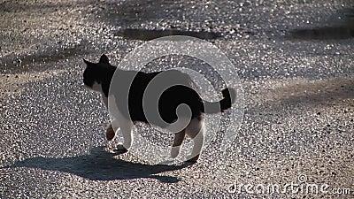 Gatto In Bianco E Nero Che Attraversa La Strada Stock Footage