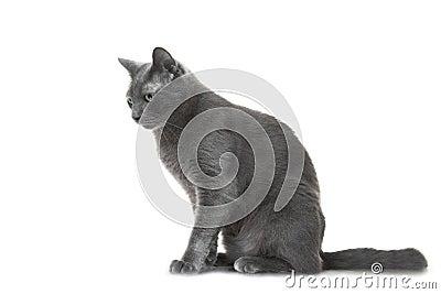 Gatto blu russo che si siede sul fondo bianco isolato