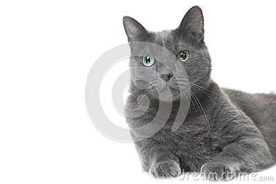 Gatto blu russo che si trova sul bianco isolato