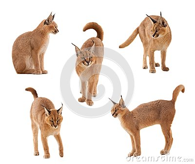 Gatto di Caracal