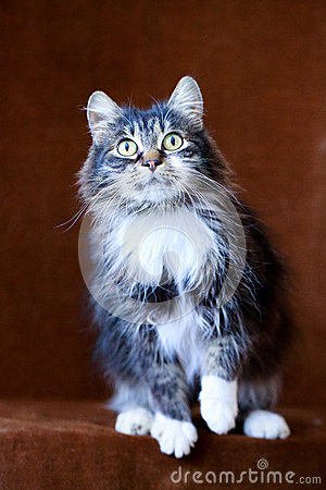 Gatto grigio con i grandi occhi