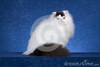 Gatto persiano 1