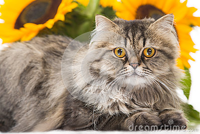 Gatto persiano che si trova con i girasoli