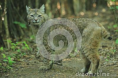 Gatto selvatico