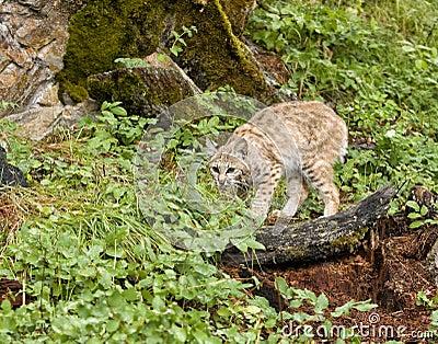 Gatto selvatico accovacciantesi