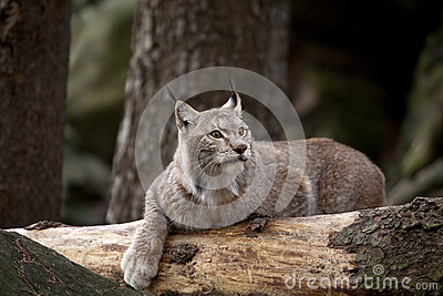 Gatto selvatico che riposa sul legno