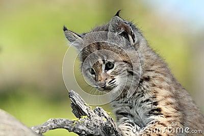 Gatto selvatico del bambino