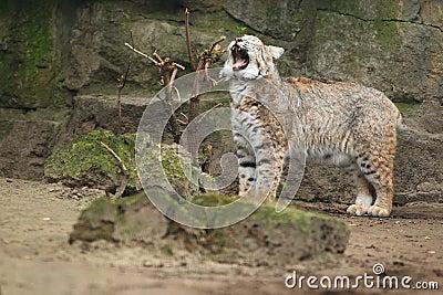 Gatto selvatico di sbadiglio