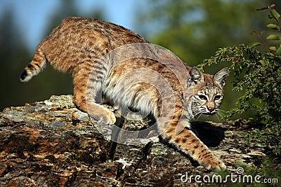 Gatto selvatico furtivo