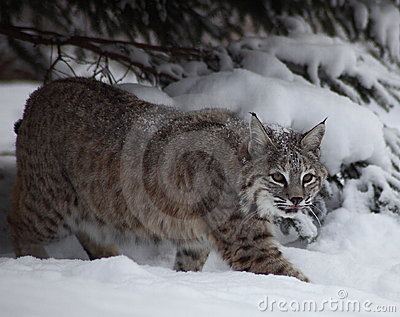 Gatto selvatico in neve