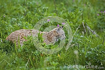 Gatto selvatico in prato erboso