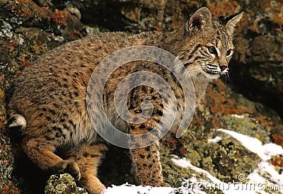 Gatto selvatico in rocce