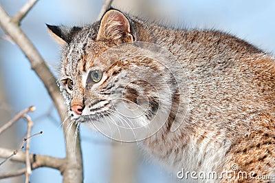 Gatto selvatico (rufus del lince) in albero - testa