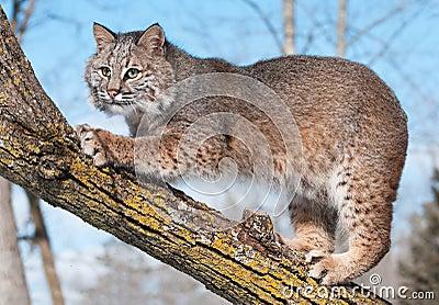 Gatto selvatico (rufus del lince) nel ramo graffiante dell albero