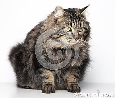 Gatto simile a pelliccia