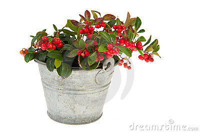 Gaultheria in bucket