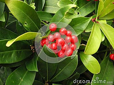 Gaultheria bush