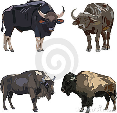 Free Gaur, African、 European And American Bison Royalty Free Stock Images - 15966439