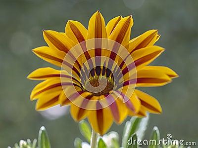 Gazania Daisy Flower Fleur