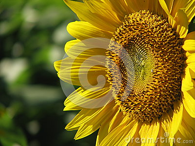 The Gaze of a Sunflower